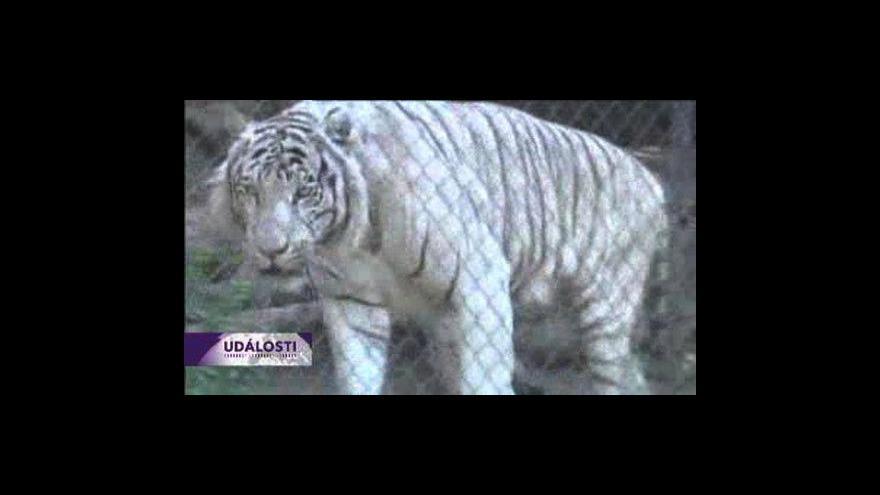Video Mláďata tygra bílého z Chile