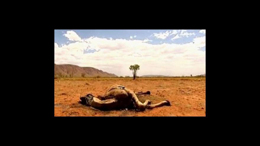 Video V Austrálii vybíjejí divoké velbloudy