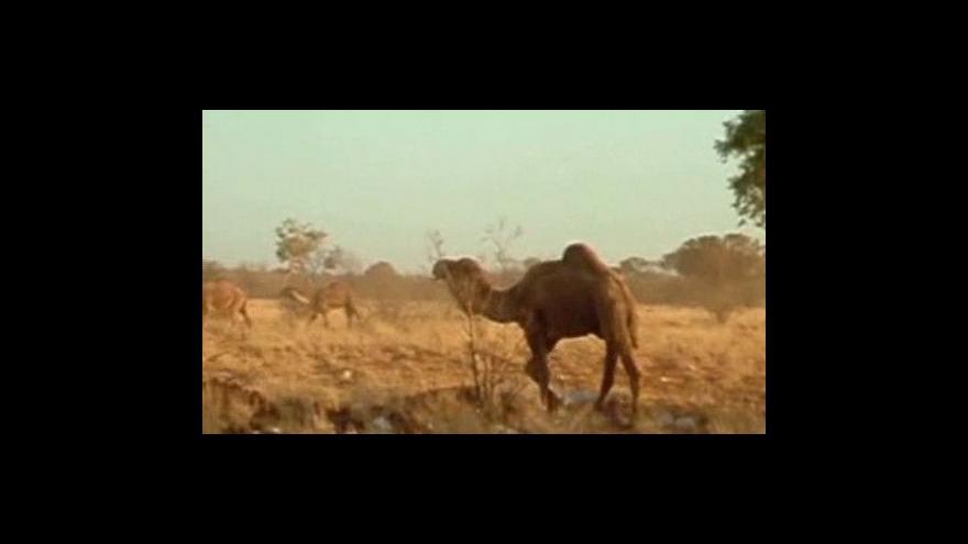 Video Žizniví velbloudi ohrožují australské město