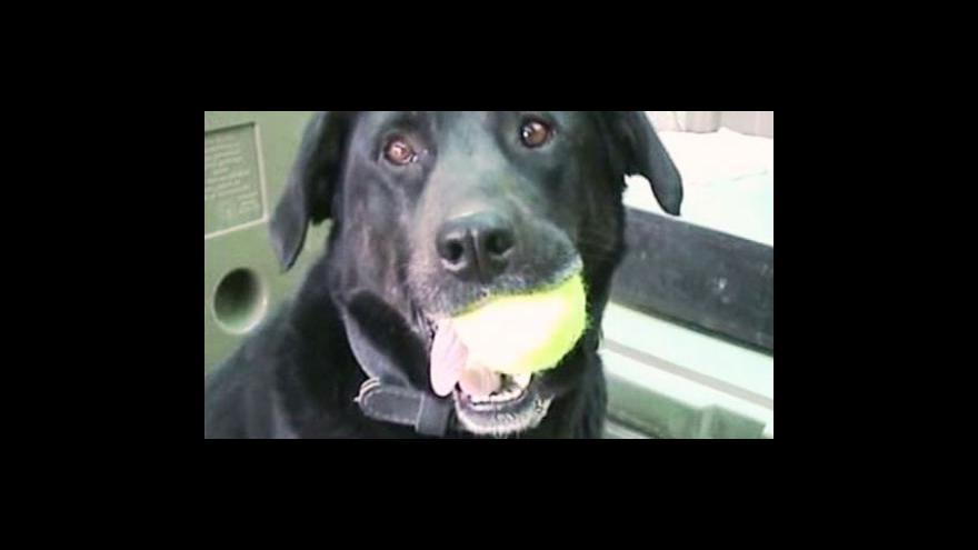 Video Labradorka Sabi se našla po 14 měsících