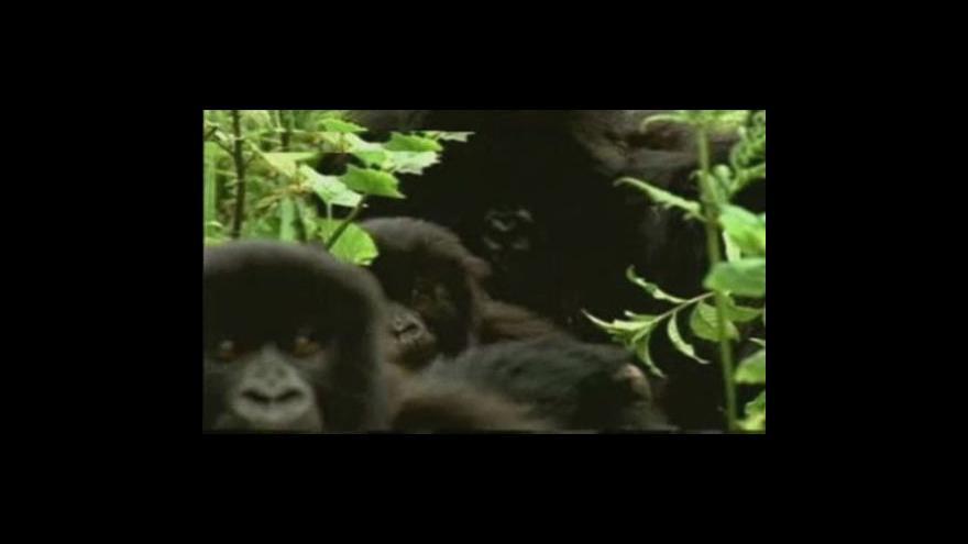 Video V Kongu umírají gorily