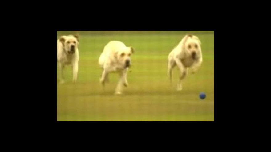 Video Šikovné služební psy lze získát i klonováním