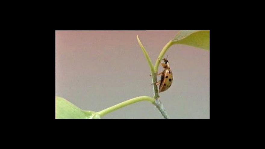 Video Asijské slunéčko ohrožuje britský hmyz