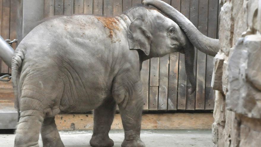 Video V Ústí můžete potkat slonice na procházce
