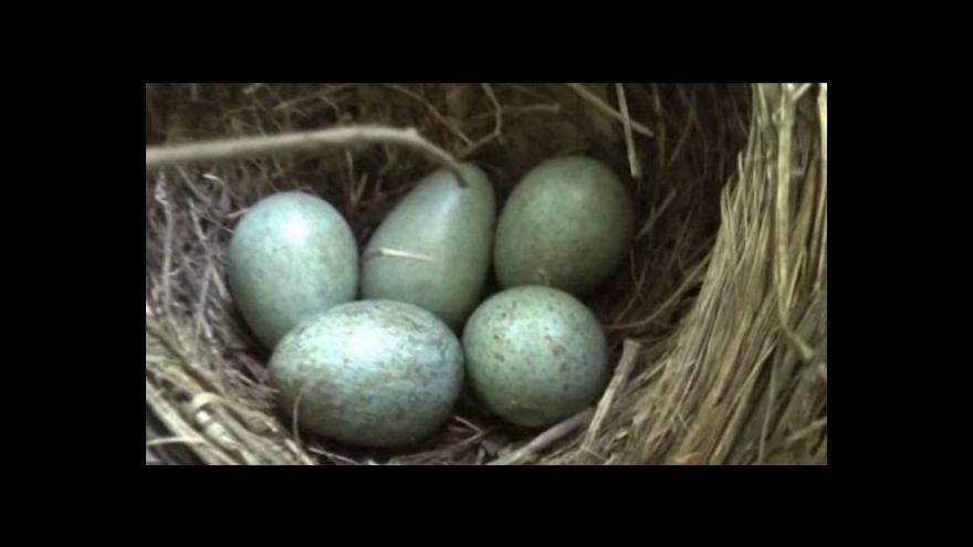 Video Ornitologové učinili objev o chování ptáků k cizím vejcím