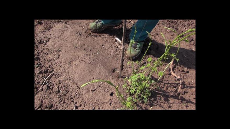 Video Nové odrůdy chmele