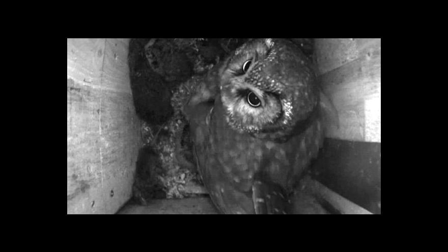 Video UDÁLOSTI: Velký přírodovědec tě vidí, sýci