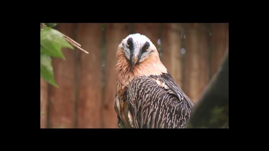 Video Ostravská zoo posílá dalšího orlosupa do Alp