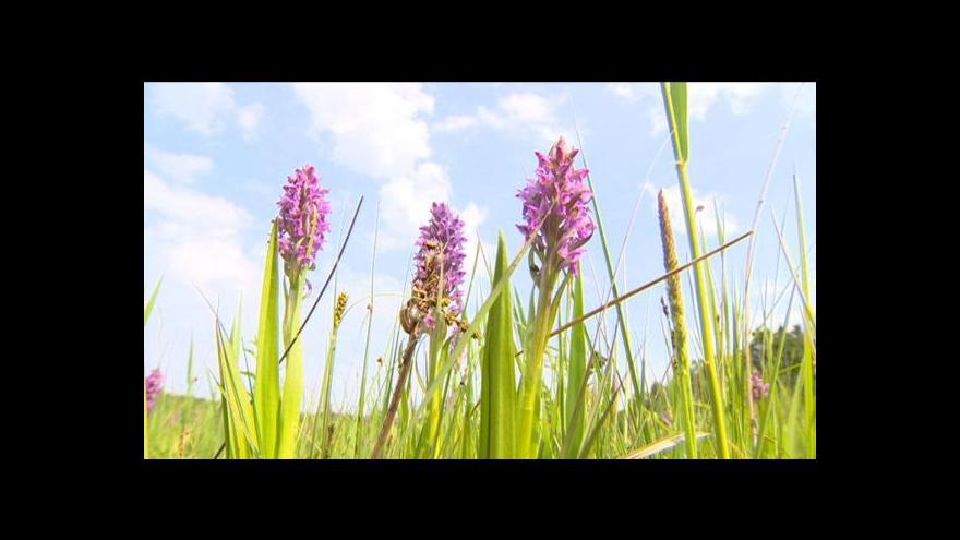 Video Tisíce vzácných orchidejí divoce rozkvetly na Pardubicku