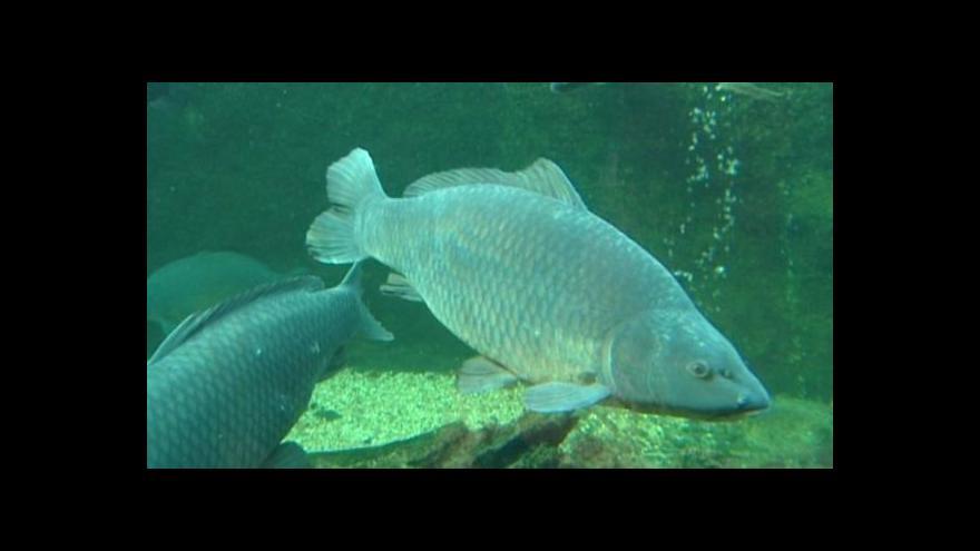 Video Ryby jsou apatické vedrem, hrozí jejich úhyn