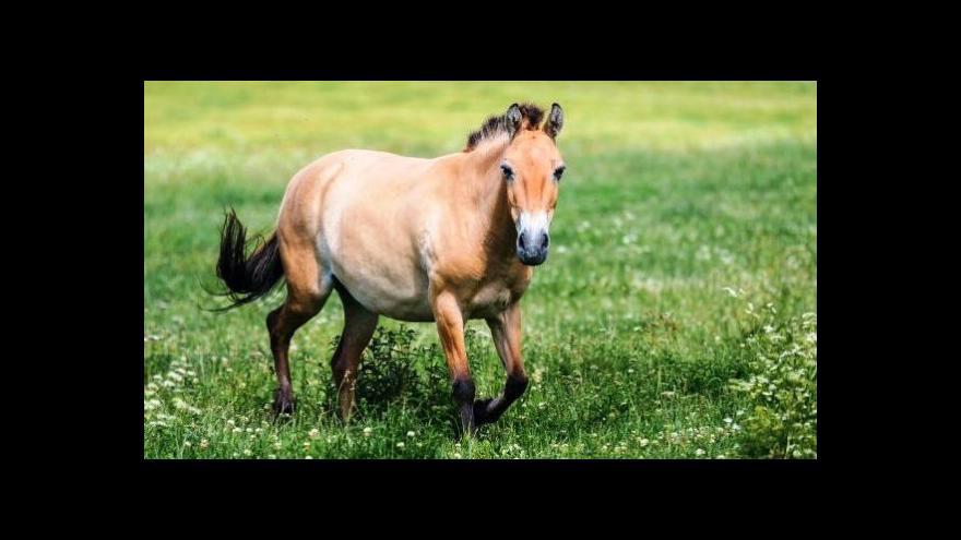 Video Pražské klisny koně Převalského v mongolské stepi
