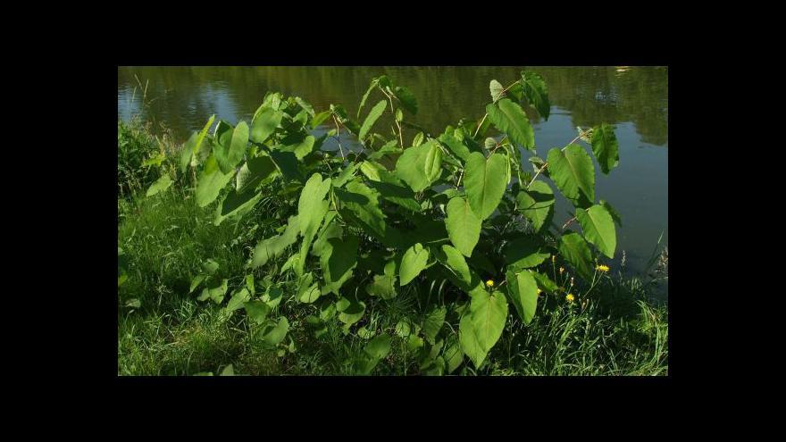 Video Ochránci přírody likvidují křídlatku na horním toku Ostravice