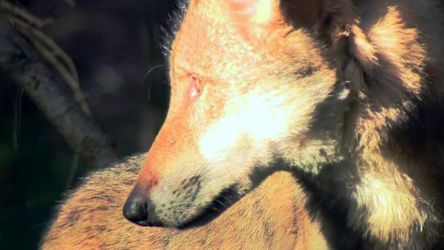 Video Vlčí smečka v Šumavské přírodě