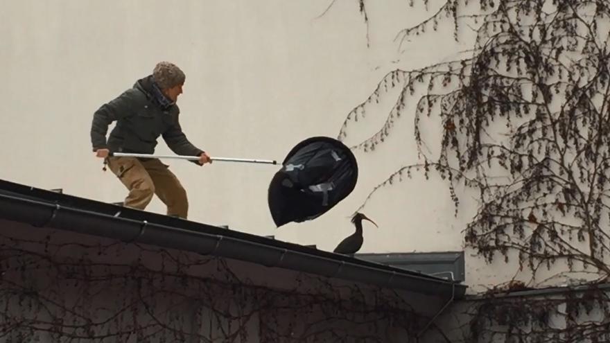 Video Odchyt ibisa