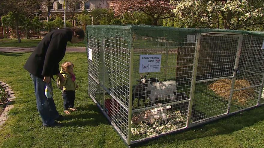 Video Nová atrakce v centru Brna. V parcích mohou lidé potkat kozy a poníky.