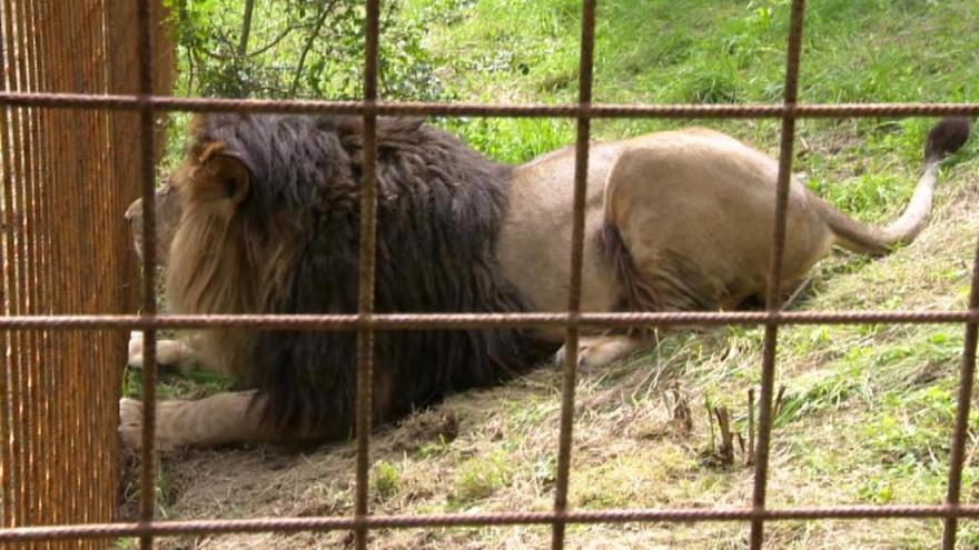 Video Valašskou vesnici děsí lev Fufi