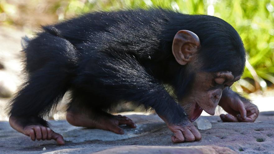 Video Šimpanzice čistila zuby mrtvému synovi