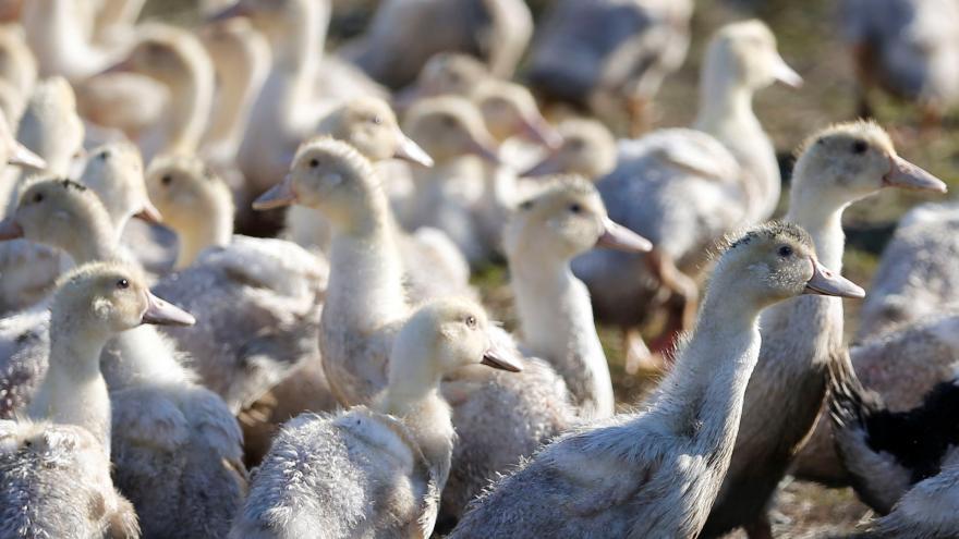 Video Do Česka se vrátila ptačí chřipka