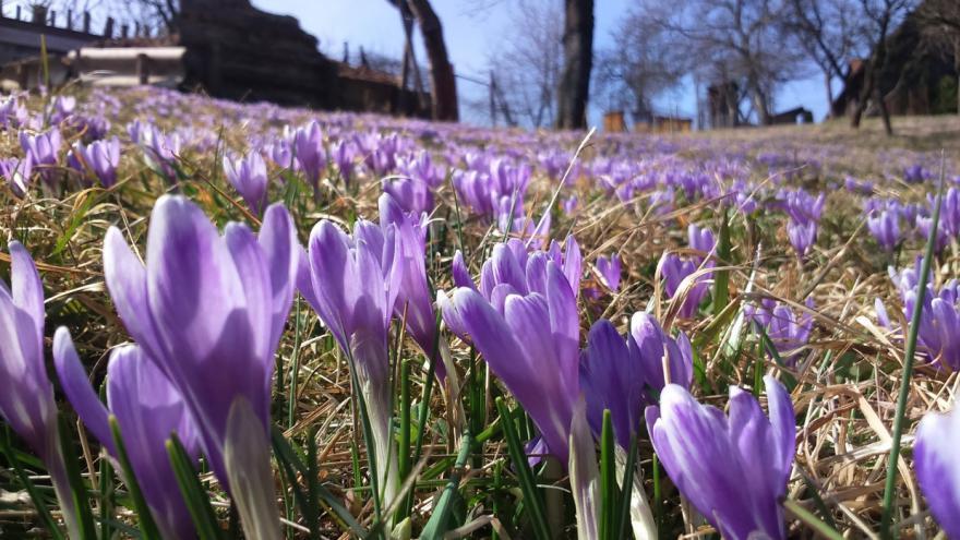 Video Louky v Lačnově  zbarvily do fialova tisíce květů šafránů