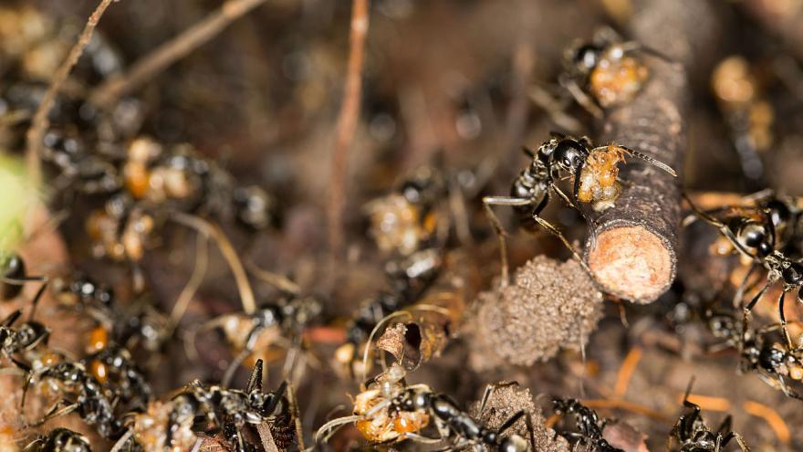 Video Mravenci Megaponera analis zachraňují zraněné