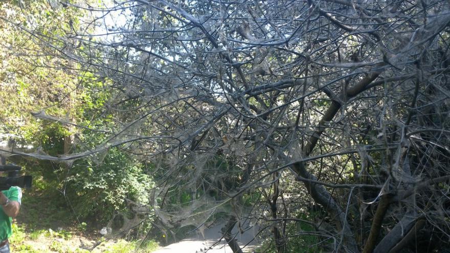 Video Stromy obalené pavučinami v parku pod Špilberkem