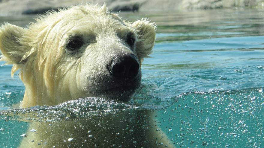 Video Problém ledních medvědů