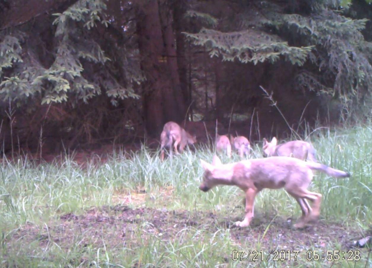 Video Fotopast zachytila čtyři vlčata