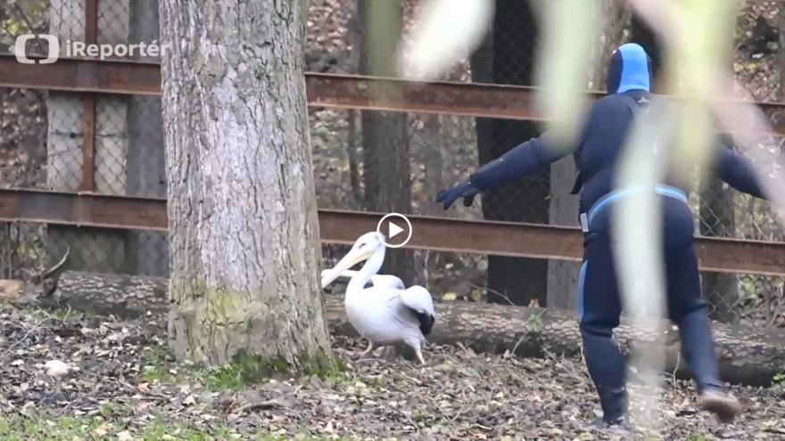 Video pelikán
