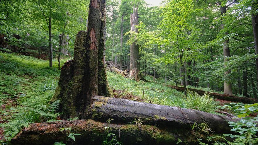 Video Žofínský prales