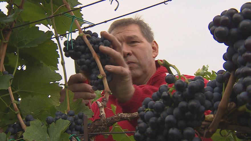 Video Zemědělce potrápil jarní mráz. Sklizeň vína neohrozil
