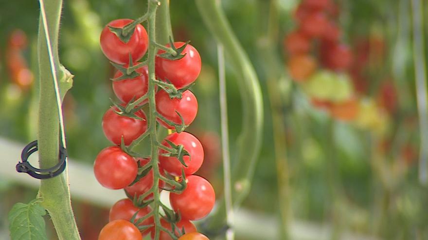 Video  Díky hydroponii vypěstují ve Velkých Němčicích až šest tun rajčat denně