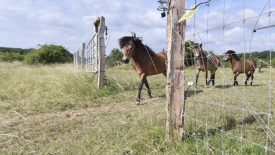 Video Divocí koně vyběhli na pastviny v Národním parku Podyjí