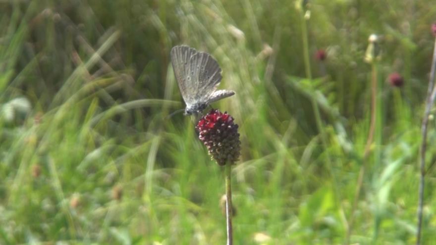 Video Záchrana motýlů modrásků v severních Čechách