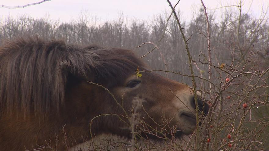 Video Divocí koně už půl roku spásají pastviny v Podyjí
