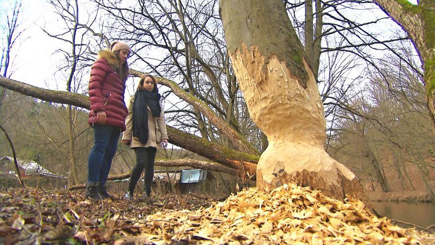 Video Bobrů na jihu Moravy přibývá