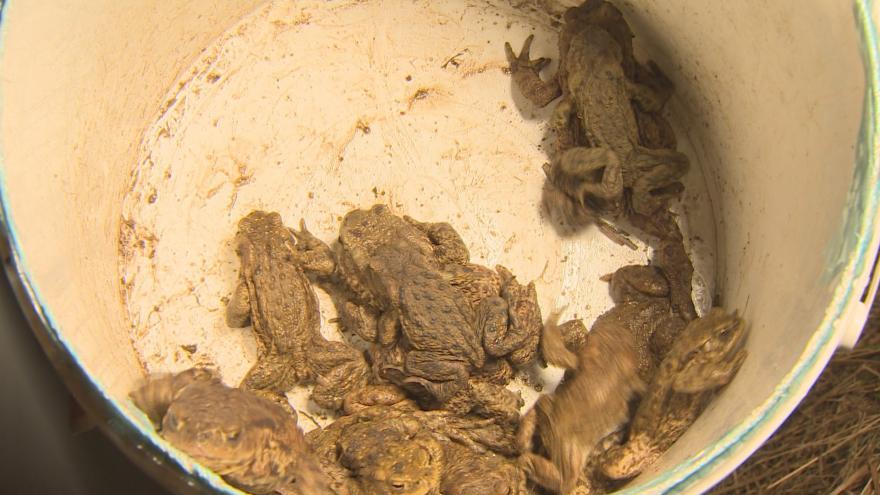 Video Dobrovolníci u Strakonic přenášejí migrující žáby přes silnici