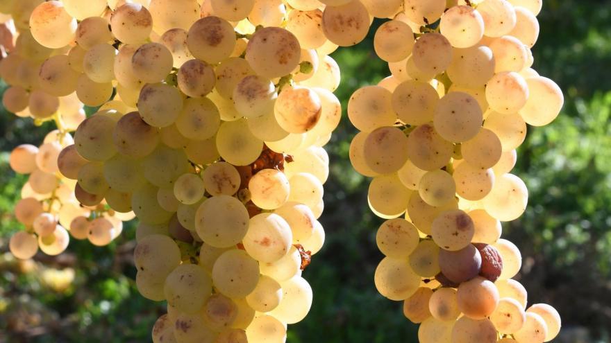 Video Začalo vinobraní