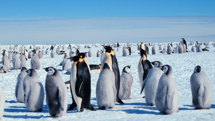 Video Vymizení tučňáků