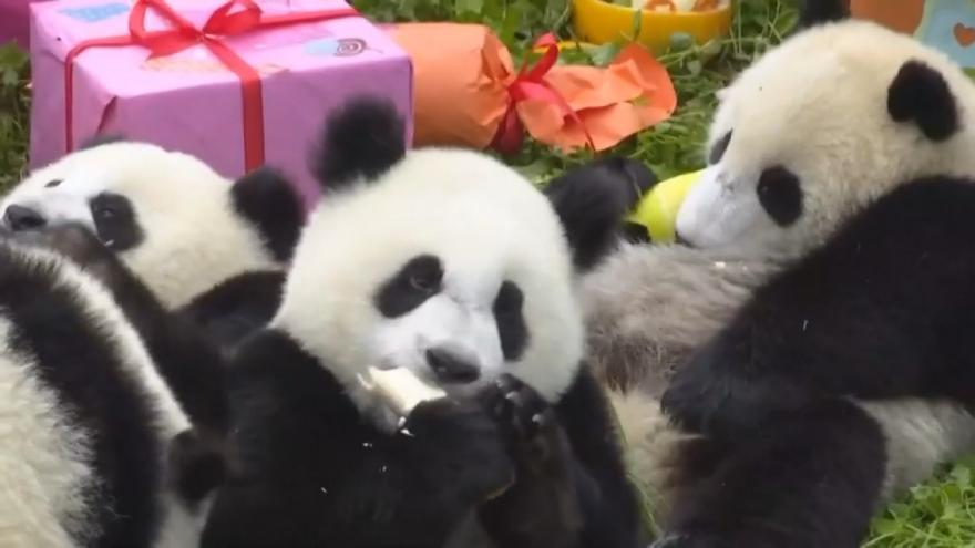 Video Pandy slaví narozeniny