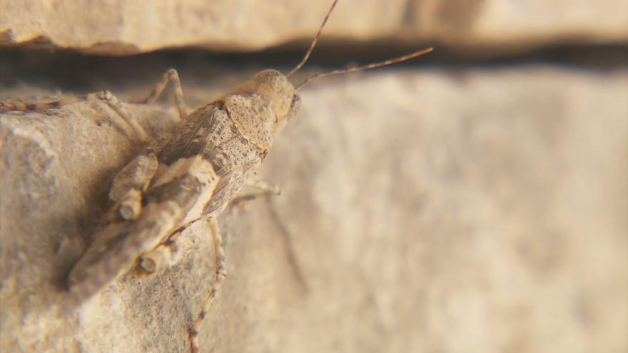Video Las Vegas čelí invazi kobylek