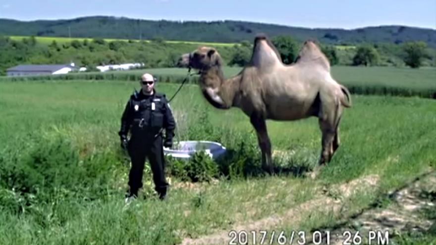 Video Odchytová služba se musela vypořádat i s velbloudem