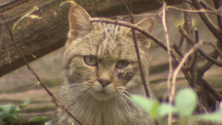 Video V Doupovských horách žijí kočky divoké
