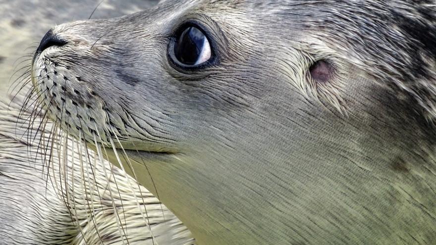 Video Sčítání tuleňů