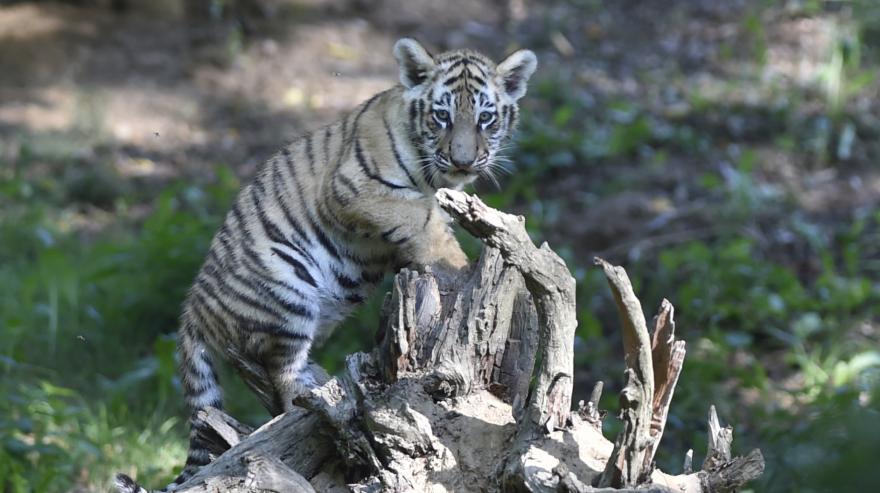Video Bez komentáře: Tygří mláďata ve výběhu