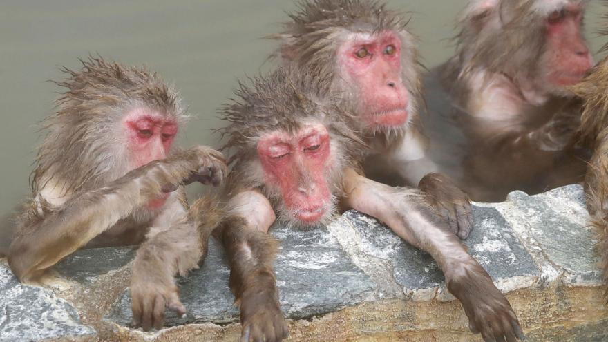 Video Opice v Japonsku si zimu užívají. Ve výběhu mají horkou lázeň
