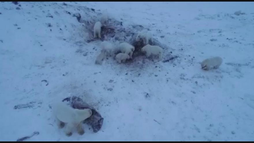 Video Vesnici na severu Ruska obsadili polární medvědi