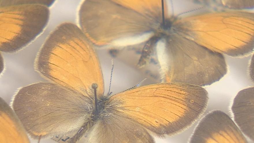 Video Tisíce ohrožených motýlů ve vitrínách. Policisté zabavili sbírku za miliony korun