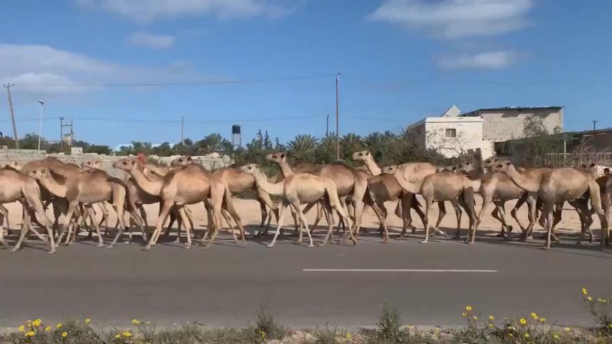 Video Velbloudi v ulicích města. V odstřelovaném Tripolisu museli evakuovat kolem tří tisíc velbloudů