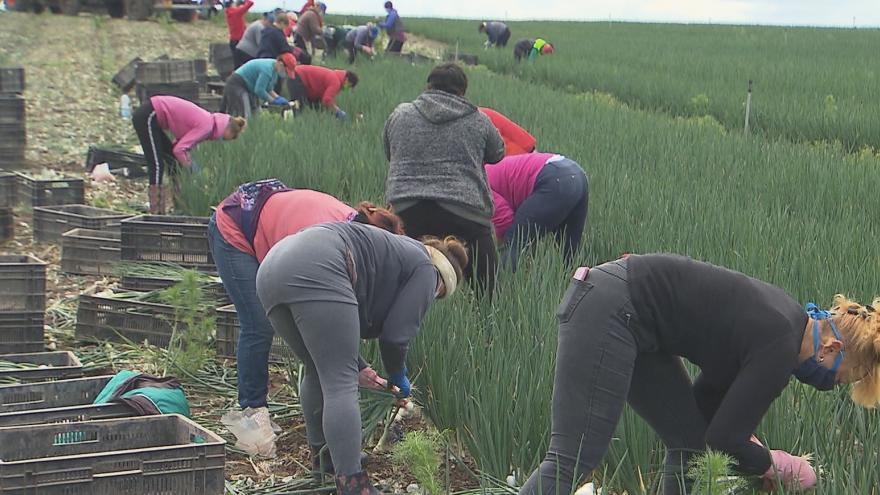 Video Zemědělcům chybí pracovníci ze zahraničí. Volají po zrychlení vydávání víz