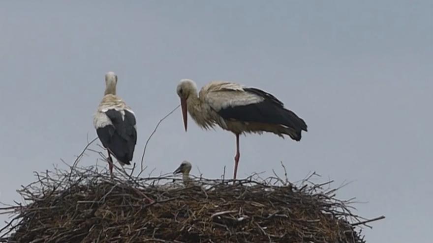 Video Čapí rodinka jak z obrázku. V hnízdě na komíně mají 3 mladé